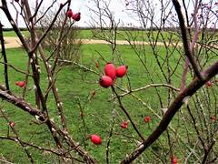 Wild Rosehip Bush (Normann) Tags: greenhamcommon rosehip