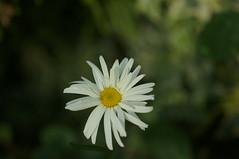 DSC00683- Daisy (oliveplum) Tags: poinsettiawishes2018 leica60f28macro singapore sony christmas gardensbythebay flowerdome daisy bokeh