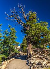 I Beseech Thee (rebeccalatsonphotography) Tags: ent tree beseeching nature trail path az arizona np nationalpark grandcanyon northrim rebeccalatsonphotography canon 5dsr 1635mm