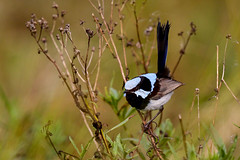 Superb Fairywren (Alan Gutsell) Tags: superbfairywren superb fairywren wren fairy lamingtonnationalpark queenslandbirds queensland australianbird australia