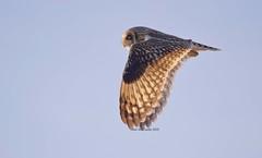 Backlit Shortie (Alan McCluskie) Tags: shortearedowl shortie shorty owl owls wings birdinflight birdofprey predator birds asioflammeus aves oiseaux