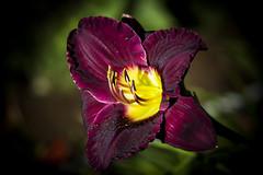 Hémérocalle IMG_1700 (Paul_Paradis) Tags: blossom fleur flora floral flower summer ete plant plante garden jardin hemerocalle daylily nature natutal macro brillant canada quebec iledorleans