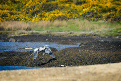 DSC_7673-2 (nigelsnell) Tags: ballymacormickpoint countydown greyheronardeacinerea groomsport northernireland bird birds