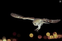 Coruja-das-torres, Barn Owl (Tyto alba) (Nuno Xavier Moreira) Tags: corujadastorres barnowltytoalbanunoxavierlopesmoreira ngc animals animais aves de portugal observação nature natureza selvagem pics wildlife wildnature wild photographer birds birding birdwatching em bird ao ar livre ornitologia nuno xavier moreira nunoxaviermoreira liberdade national geographic xfx35 xfx75 xfp35 xfp75 xrc20 xlm9 wwwvidaselvagemnoturnapt prey nocturnas noturnas all xpress us tytoalba barnowl commonbarnowl