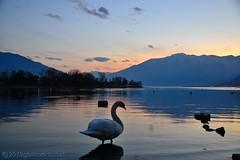 The swan at sunset. (GIVI58) Tags: italia italy cigno swans tramonto sunset fiumemera lagodicomo lombardia