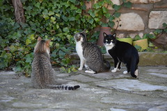 Gats a Mirambell (esta_ahi) Tags: mirambell anoia gat gato cat gatos felissilvestriscatus barcelona spain españa испания