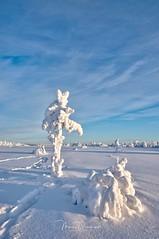 White tree (mousstique) Tags: landscape finnmark norway blue white tree nature open wild cold snowscape arctic sun winter