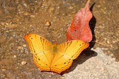 Vindula erota ssp. erota - Namtok Monta Tan_20180212_55DSC_9442_DxO (I love comments but delete awards - Jan F. Rasmuss) Tags: heliconiinae nymphalidae nymphalid nymphalids thailand d800 butterfly butterflies macro closeup insecta lepidoptera rhopalocera nikon janfischerrasmussen janfrasmussen asia southeastasia vindulaerota vindula