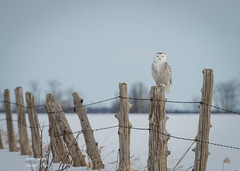 Snowy Owl (Jamie Lenh Photography) Tags: nature wildlife birds owls snowyowl winter ontario canada perched perching nikon tamron jamielenh