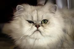 Leon (Eugenio GV Costa) Tags: approvato gatto cat gatti cats animal animali domestici