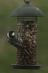 """Coal Tit (Periparus ater) (newpeter) Tags: wildlife rabbits heron gulls birds deer stag otter meerkats animals creatures owls ducks tigers tiger leopard leopards bongo rhino swans butterflies otters """"long tailed tit"""" """"blue """"great """"coal nuthatch blackbird robin chaffinch sparrow dunnock woodpecker """"greater spotted woodpecker"""" """"wood pigeon"""" carrion crow """"carrion crow"""" siskin goldfinch jackdaw """"lesser squirrel brambling mallard curlew starling waterfowl"""