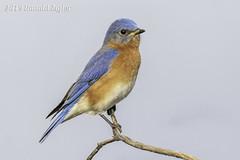 Eastern Bluebird IMG_4062 (ronzigler) Tags: thrush songbird nature birdwatcher avian wildlife bluebird eastern bird watcher