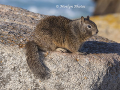 California Ground Squirrel side view - Pacific Grove (moelynphotos) Tags: california pacificgrove animal animalwildlife groundsquirrel mammal montereybay profile selectivefocus nopeople nobody oneanimal pawedmammal rockobject rodent squirrel westernusa moelynphotos