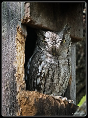 Eastern Screech Owl (Bob Shrader) Tags: olympusem1markii zoom50200mmf2835 400mm f7 1800sec 5000iso raw microfourthirds mft m43 mirrorless austin texas unitedstates northamerica animals animal beast beasts creature creatures zoology bird owl easternscreechowl unitedstatesofamerica america us usa westcreek em1markii ec202xteleconverter closeup outdoors exterior telephoto olympusworkspace on1 photoraw2019 photoborder photoedge photoframe postprocessing preset