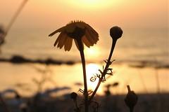 В сиянии солнца (unicorn7unicorn) Tags: цветок море закат пляж 365the2019edition 3652019 day98365 08apr19 wah crazytuesday colorfulnature