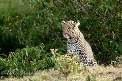 Leopard (mayekarulhas) Tags: leopard masaimara mammal wildlife wild bigcats canon canon500mm canon1dxmark2 carnivores kenya safari