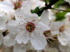 porzók / stamens (debreczeniemoke) Tags: tavasz spring virág flower fehér white alma apple porzó stamen rét meadow olympusem5