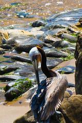 Brown Pelican (Daren Grilley) Tags: carpenteria santa barbara county pacific ocean nikon 200700 d850
