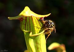 Flirting With Danger (Lani Elliott) Tags: bug insect wasp europeanwasp macro upclose closeup carnivorousplant plant light bokeh homegarden