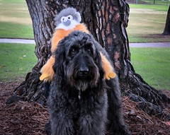 """I take Adventure Gibbon for a run in the park."" (Bennilover) Tags: gibbon benni dogs park castillepark labradoodle riding running falling funny patient adventuregibbon family adventure"