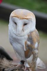 IMG_5505 (Jeff And) Tags: owl barnowl bird birdsofprey hunting