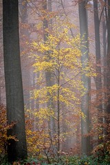 Glory before decay (Inti Runa) Tags: canonef100400mmlis canoneos7dmarkii forêtdesoignes forest tree autumn belgium brussels