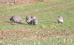 Guineafowl (Geckoo76) Tags: guineafowl