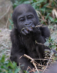Pure joy. (rsheath76) Tags: dallaszoo gorillas baby westernlowlandgorilla faces