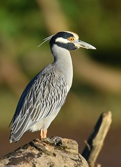 Yellow-crowned Night-Heron (anacm.silva) Tags: yellowcrownednightheron heron garça nightheron ave bird wild wildlife nature natureza naturaleza birds aves tárcolesriver tárcoles riotárcoles costarica nyctanassaviolacea coth5