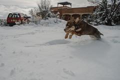 Stella (M///S///H) Tags: 2019 24mm lenstagger acumulation canonfd dog doggo f14 hop jump leap newmexico powder pup pupper puppy snow snowfall stella taos white winter