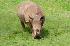 Rhino (jackiecomer994) Tags: rhinocerous rhino animal