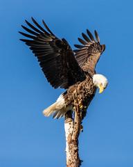 American Bald Eagle Wings Up (dbadair) Tags: outdoor nature wildlife 7dm2 canon florida bird