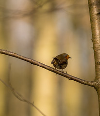 robin on a branch (Danyel B. Photography) Tags: robin branch forest tree wood animal bird small winter bokeh sigma ast rotkehlchen