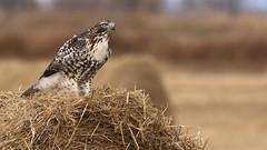 The Watcher (Bill G Moore) Tags: naturephotography birdofprey redtailhawk billmoore wild wildlife raptor canon colorado