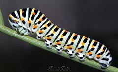 oruga (juankarlosmedina) Tags: oruga caterpillar insect color colores macro macrophotography nikkor50mm18 clouseup macrofotografía animales naturaleza