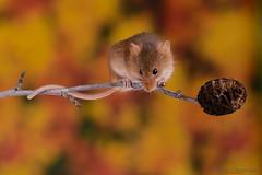 Harvest mice 16 12.01.19 (Lee Myers - aka mido2k2) Tags: green harvest mice mouse mammal small native wildlife uk countryside nature natural studio light portrait setup nikon d7100 flash strobe sigma macro 105mm cute smile happy fluffy rodent