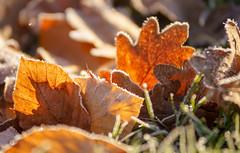 Laub (KaAuenwasser) Tags: laub blätter blatt sonne gras schatten licht boden frost eis winter makro ngc