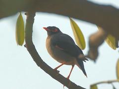 Bank Myna (hasham2) Tags: wildlife birding birds myna feathers dof tree leaves sony nex6 sigmadgapo170500mmf563 laea4