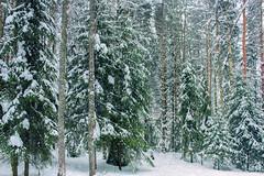 Winter Forest / Зимний лес (VikTori_kvl23) Tags: деревья день пейзаж зима мороз погода сезон природа лес снег trees shadows day landscape winter frost weather season nature forest snow tree wood road