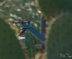 Common kingfisher (Bilel Tayar) Tags: kingfisher birds bird martinpecheur alcedoatthis animal animals nikon tamron18270 oiseaux ornitho