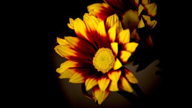 Обои макро, свет, цветы, яркие, желтые, лепестки, черный фон, оранжевые, композиция, огненные, двухцветные, гацания картинки на рабочий стол, раздел цветы - скачать
