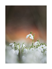 Head Above The Rest (Geoff Kell (Old Forest Man)) Tags: flowers snowdrops shhg hilliersgardens