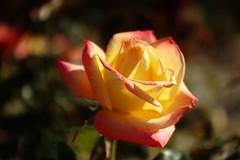 La Roche aux Fées      Angénieux  50mm F 2.9 (情事針寸II) Tags: クローズアップ 自然 花 薔薇園 薔薇 triplet oldlens bokeh closeup nature fleur flower rosegarden rose kasteelcoloma angénieux50mmf29