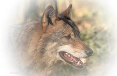 ... ich war wieder mal bei meinen Lieblingen ... (gabrieleskwar) Tags: wolf wolfsgehege anholt wildpark outdoor tier anholter schweiz