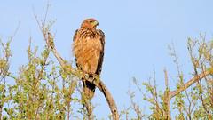 Tawny Eagle (9170) (Bob Walker (NM)) Tags: bird raptor eagle perching treelimb tawnyeagle aquilarapax somalisacamp hwangenationalpark zimbabwe
