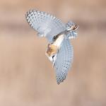 Barn Owl Diving on Prey thumbnail