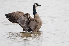 7K8A1133 (rpealit) Tags: scenery wildlife nature edwin b forsythe national refuge brigantine canada geese bathing goose bird