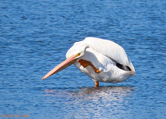 American White Pelican (Pelecanus erythrorhynchos) (Betsy McCully) Tags: merrittnationalwildliferefuge floridabirds pelicans americanwhitepelican pelecanuserythrorhynchos