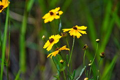 Summertime (The Vintage Lens) Tags: nature plants yellow flowers bokeh