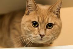 Maura (Richard van de Velde) Tags: richardvdvelde maura cat animal kat poes pussycat